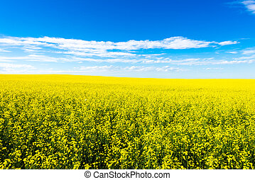 Canola crop farm field during summer