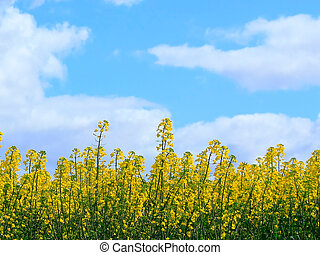 Canola crop in Bloom