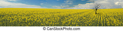 panorama of a canola field