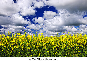 Agricultural landscape of canola or rapeseed farm field in Manitoba, Canada