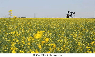 Canola Field And Oil Derrick - A lonely oil pump works...