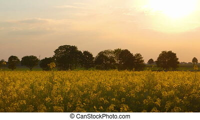 Canola Field at Sunset - Canola field at sunset
