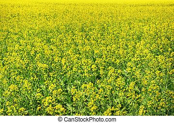 Canola field background