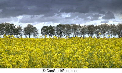Canola Field - Beautiful canola field on a sunny day