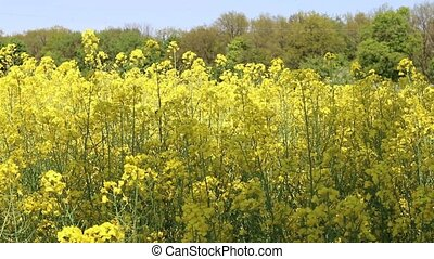 Canola field blooms - Canola field and insect . Blossom...