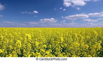 Canola field, blue sky