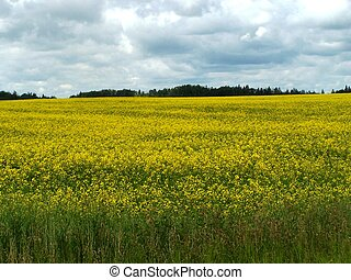 Canola field - Field of blooming canola