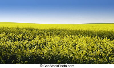 Canola Field - Footage of canola field or rapeseed field...