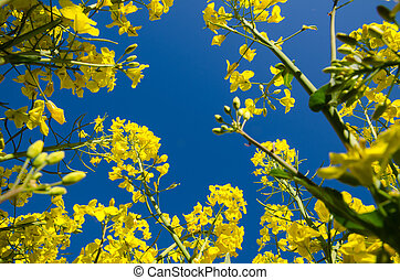 Canola Field From Below - Blossom canola field from below at...
