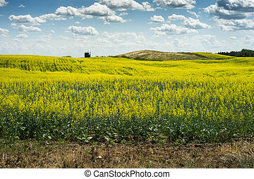 Canola field in early blooming