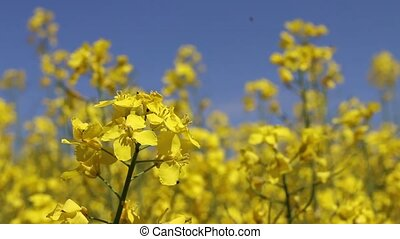 Canola field insect closeup. Beautiful growing yellow flower