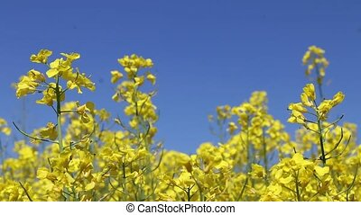 Canola field insect pollinated