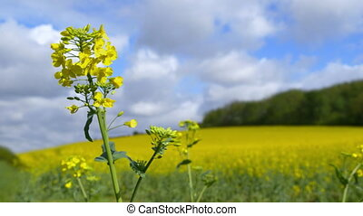 Canola Field on a Sunny Day - Beautiful canola field on a...