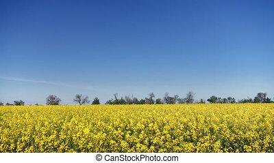 canola field on bright Sunny day