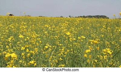Canola Field On Canadian Prairies - A canola crop in the...