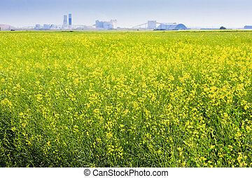 Canola Field on the Prairies - Canadian potash mine on the...