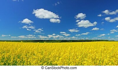 Canola field, panorama