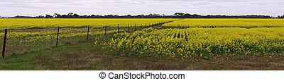 Canola field panorama