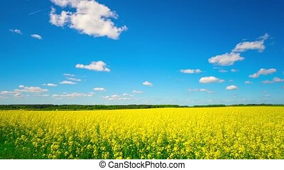 Canola field, panoramic timelapse