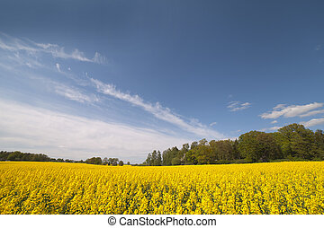 canola, field.