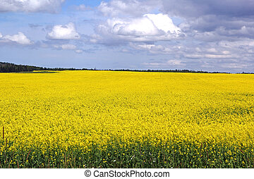 Canola field spread with yellow flowers blooming