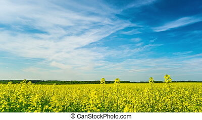 Canola field, time-lapse with crane