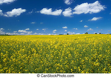 bright yellow canola field against cumulus clouds