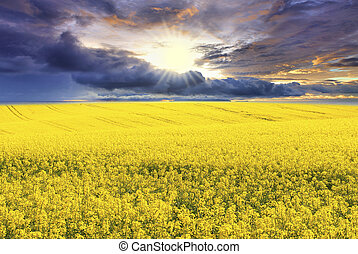 canola field - with thunder-storm