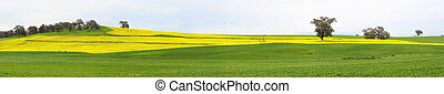 Canola fields and grazing pastures