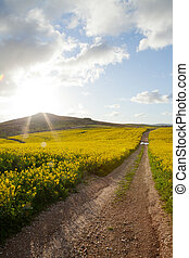 Canola fields in late afternoon sunlight