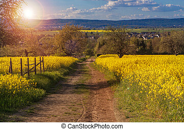 Canola fields in the spring