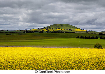 Canola Fields Near Smeaton - Canola fields shine on a stormy...