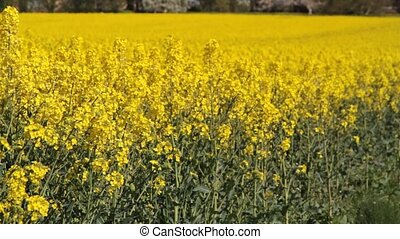 Canola fields or Rapeseed plant 1920 x 1080p HD video