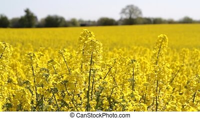 Canola fields or Rapeseed plant. - Canola fields or Rapeseed...
