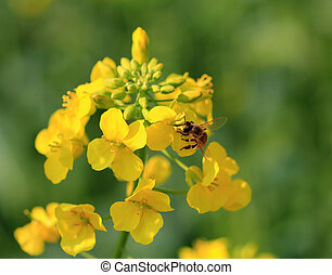 Canola flower and bee