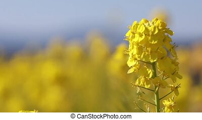 Canola flower closeup
