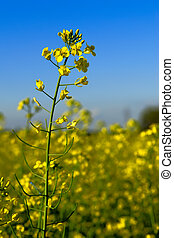 Canola Flower in Field