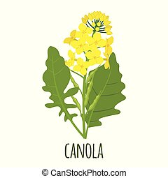 Canola flower in flat style isolated on white. - Canola ...