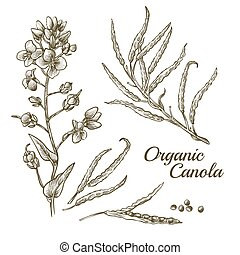 Canola flower, organic colza or rape plant branch with ...
