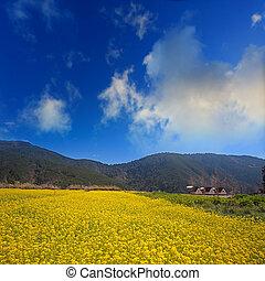 Canola flower Tian