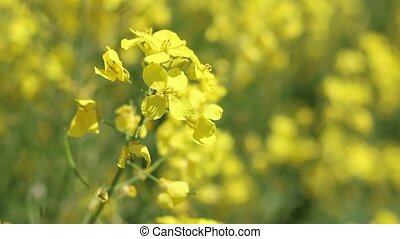 Canola flower wind closeup