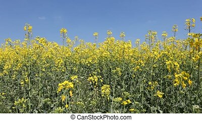 Canola flowers field
