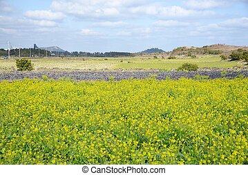 Canola flowers in full bloom