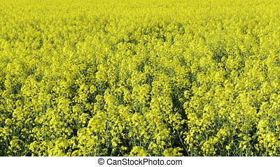 Canola - Footage of canola field or rapeseed field in detail