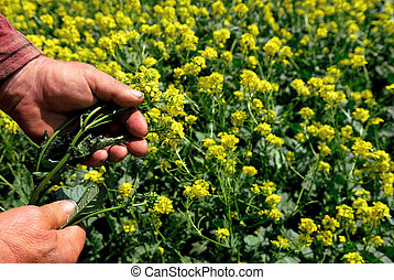 Canola in Farmers Hand