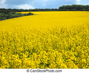 Canola - Oilseed field under cloudy sky sunny day