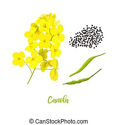 Canola or colza. flowers, seeds, leaf. Rapeseed blossom ...