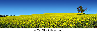 Canola Panoramic - Canola Field in South Australia