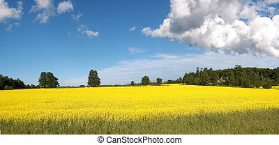 Canola Panoramic - Panoramic of Canola Feilds in Mid Summer