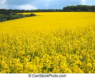 Canola - Oilseed field under cloudy sky sunny day